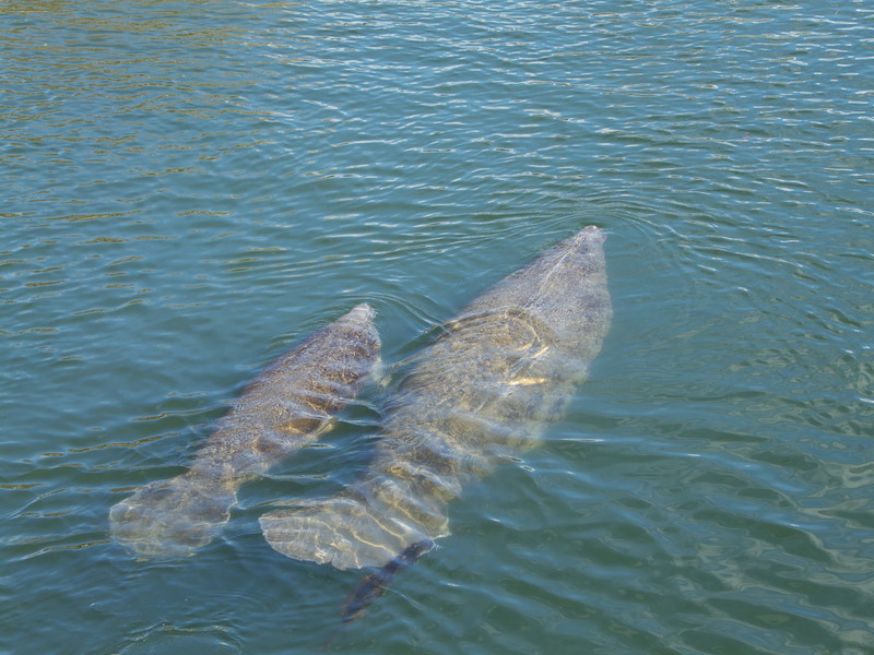 Anxiously Awaiting the West Indian Manatees Return