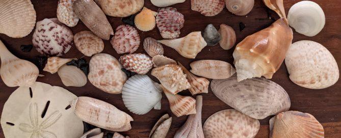 Your Florida Beach Seashell Guide